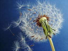 dandilion wish