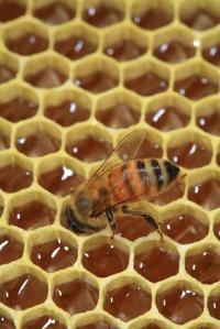 Honey-bee-honeybee19