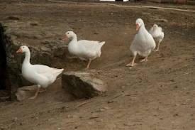 pillow ducks