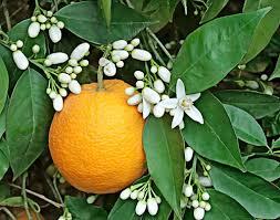 orange blossom one