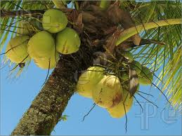 young coconut 3