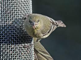 thistle bird feeder