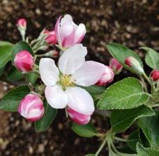 Apple blosom (1)
